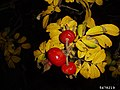 Rosa rugosa fruit (39).jpg
