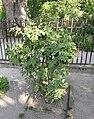 Rosa villosa plant (03).jpg