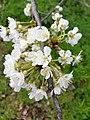 Rosales - Prunus cerasus - 16.jpg