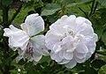 Rosarium Baden Rosa 'Blush Noisette' vor 1817 01.jpg