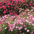 Rose, Lavender Dream, バラ, ラベンダー ドリーム, (23514176110).jpg
