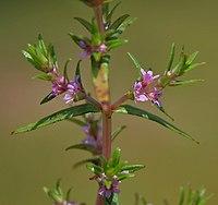 Rotala densiflora (Jalmukhi) in Narshapur forest, AP W IMG 0943