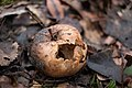 Rotten apple under the tree.jpg