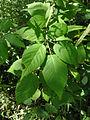 Rubus allegheniensis SCA-03381.jpg