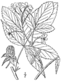 Rubus canadensis BB-1913.png