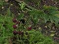Rubus laciniatus1.jpg
