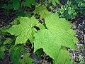 Rubus odoratus 2016-05-09 9978.jpg