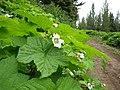 Rubus parviflorus (8094493678).jpg