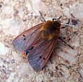 Ruby Tiger Moth. Phragmatobia f. fuliginosa - Flickr - gailhampshire (2).jpg