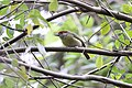 Rufous-browed Peppershrike (6842683208).jpg