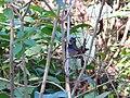 Rufous-gorgeted Flycatcher - Ficedula strophiata - P1020920.jpg