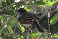 Rufous-tailed Flycatcher (Myiarchus validus) (8082112908).jpg