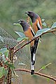 Rufous treepie (Dendrocitta vagabunda vagabunda) Jahalana pair.jpg