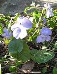 Ruhland, Grenzstr. 3, Hain-Veilchen im Garten, blühende Pflanze, Frühling, 03.jpg