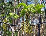 Ruhland, Grenzstraße, Wald gegenüber Hausnr. 2, Roteiche, Zweigspitze mit Blättern und Blüten, Frühling, 01.jpg