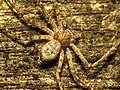 Running Crab Spider (30664491772).jpg