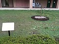 Saitama University, Japan - Newton's apple tree1.jpg