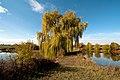 Salix alba 4 seasons Autum HaJN 7237.jpg