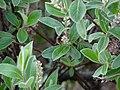 Salix glauca female.JPG