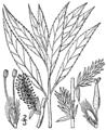 Salix petiolaris BB-1913.png
