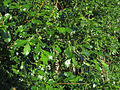 Salix phylicifolia Oulu, Finland 08.06.2013.jpg