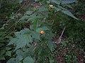 Salmonberry, Rubus spectabilis.JPG