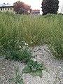 Salvia sclarea sl2.jpg