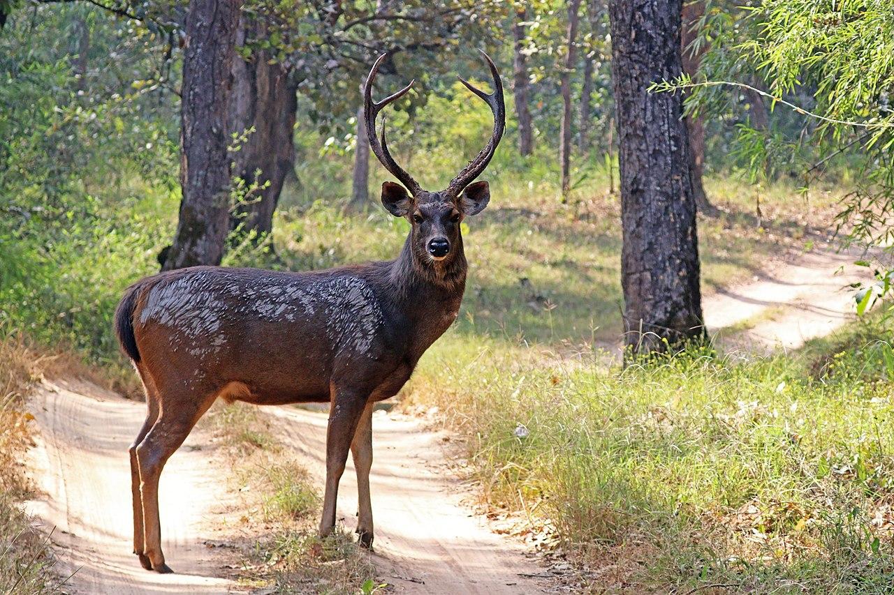 Sambar (Rusa unicolor) male.jpg