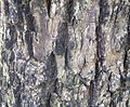 Sambucus nigra (3).JPG