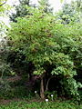 Sambucus nigra cv Haschberg P1020530.JPG