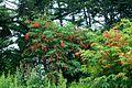 Sambucus racemosa - Бузина кистистая (2 photos) (8655324864).jpg