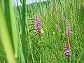 Samerberger Streuwiese mit Orchideen 1.jpg