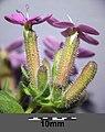 Saponaria ocymoides (subsp. ocymoides) sl14.jpg