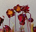 Sarracenia in Bloom (25883551844).jpg
