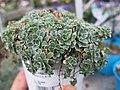 Saxifraga paniculata (garden centre).jpg