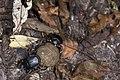 Scarabaeidae (28036266944).jpg