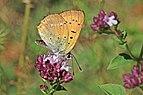 Scarce copper (Lycaena virgaureae) male underside Bulgaria.jpg