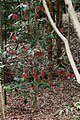 Scarlet Satinash - Syzygium erythrocalyx (15922629187).jpg