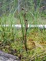 Scheuchzeria palustris Oulu, Finland 18.06.2013.jpg