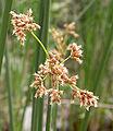 Scirpus californicus flowers 2005-03-24.jpg