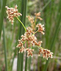 Scirpus californicus flowers 2005-03-24