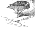 Scolopax Woodcock Genius-Long.png
