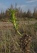 Scolymus hispanicus, Vic-la-Gardiole 01.jpg