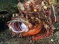 Scorpaenidae - Scorpionfish yawning (14264112535).jpg