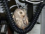 Screech owl found on flight deck DVIDS99028.jpg
