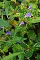 Scutellaria galericulata (8456579770).jpg