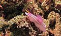 Sea Slug (Hypselodoris bullocki) (6088386760).jpg