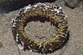 Sea anemone (29285231428).jpg