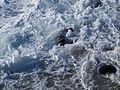 Sea lion in foamy water in La Jolla (70363).jpg