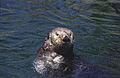 Sea otter(Vancouver Aquarium)04(js).jpg